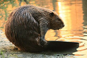 220px-beaver_yearling_grooming_alhambra_creek_2008.jpg